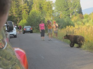 Bear on Moose Wilson Road