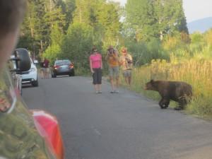Bear on Moose Wilson Road